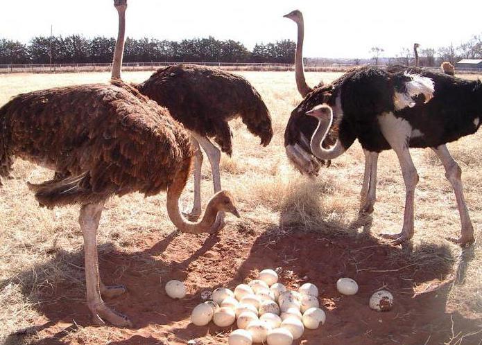 где живет страус