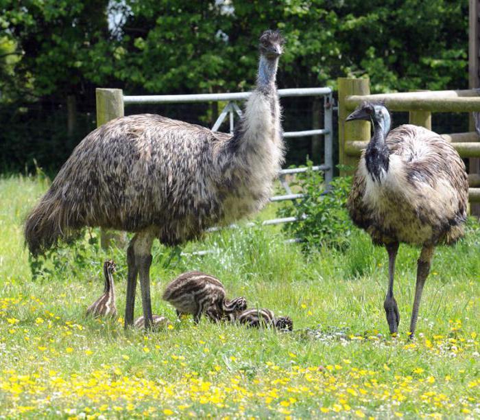 ноги страуса