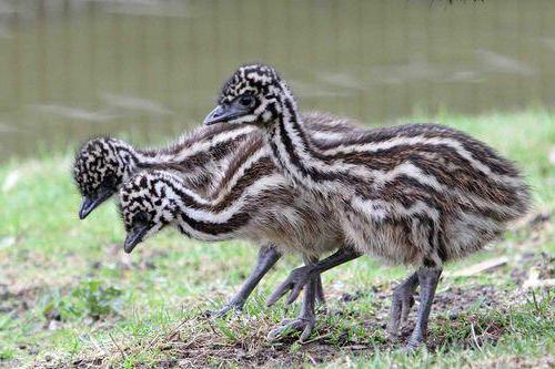 птенец страуса