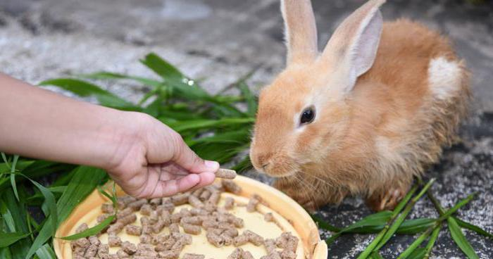 Чем питаются кролики? Декоративные кролики: уход и ... Декоративные Кролики Уход