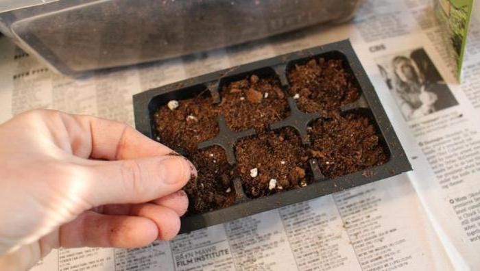 можно ли вырастить базилик на подоконнике
