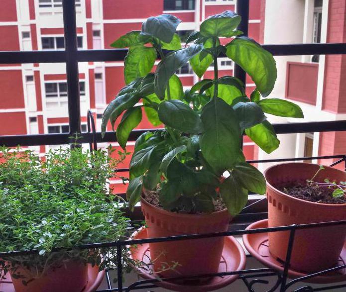как вырастить базилик на подоконнике в квартире