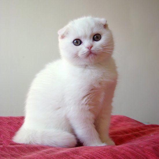 Порода белых пушистых кошек: список, описание, особенности содержания