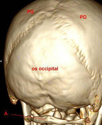 затылочная кость черепа плоская или трубчатая