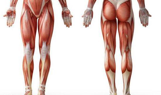 мышцы нижних конечностей человека