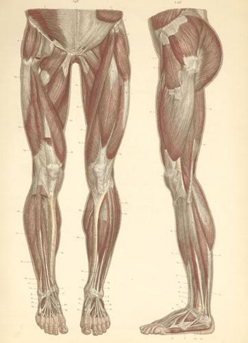 мышцы нижних конечностей анатомия