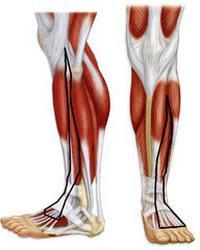 мышцы пояса нижней конечности