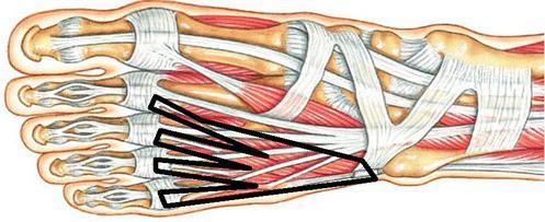 мышцы нижних конечностей функции