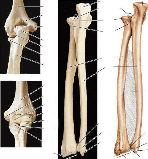 скелета верхней конечности