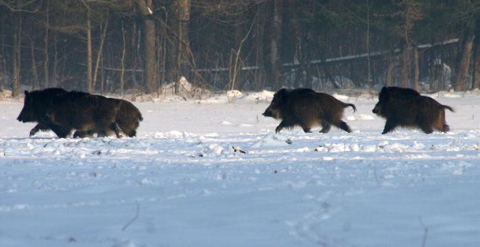 Зимняя охота на кабана с лайками