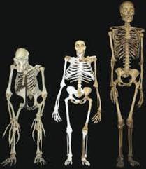 основа скелета человека