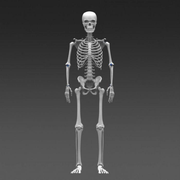основа скелета
