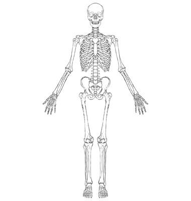 хрящевые полукольца составляют основу скелета