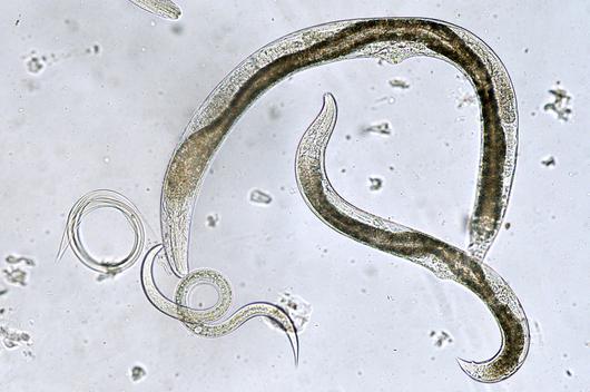 круглые черви паразиты человека список