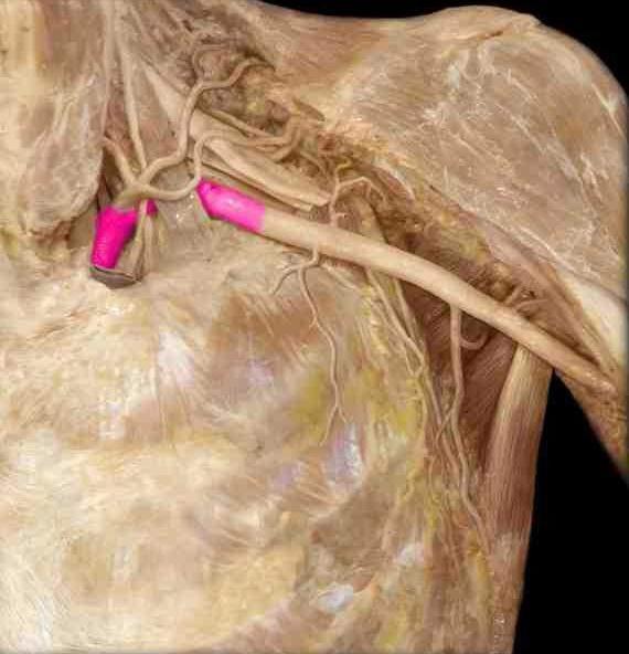 правая подключичная артерия