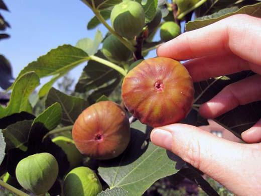 винная ягода среди плодов