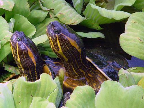 красноухая черепаха размеры в домашних условиях