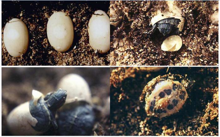 размер взрослой красноухой черепахи
