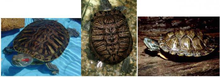 красноухая черепаха размер