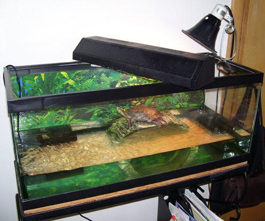красноухая черепаха размеры в неволе