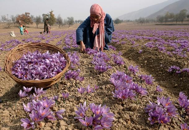 Шафран посевной выращивание 61