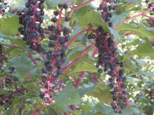 лаконос ягоды