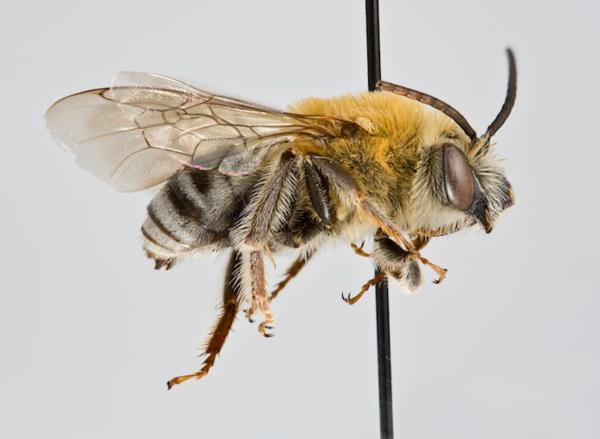 медоносная пчела дикая или домашняя