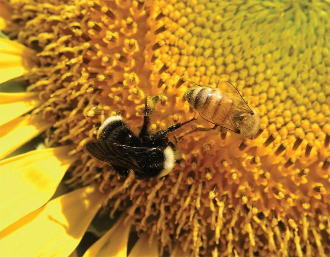 виды медоносных пчел
