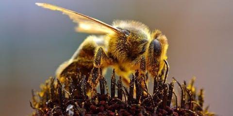жизнь медоносной пчелы