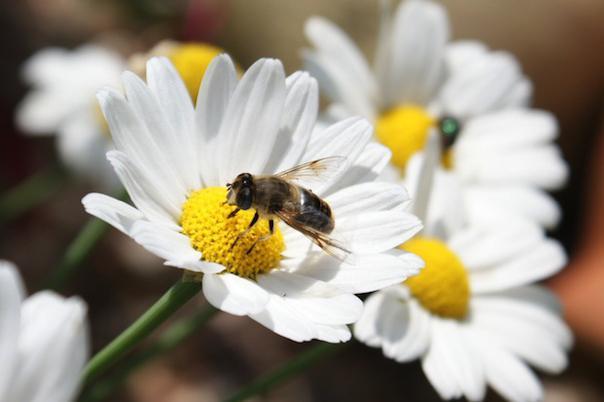 биология медоносной пчелы