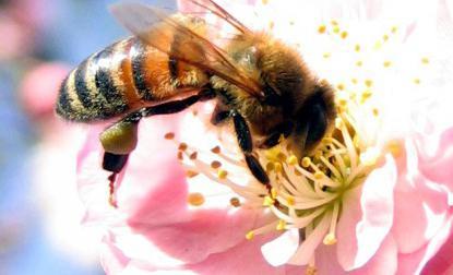 зрение у медоносной пчелы