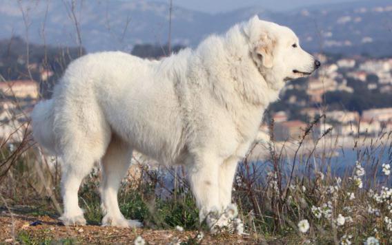 дрессировка пиренейской горной собаки