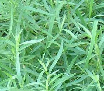 Полынь фото растения