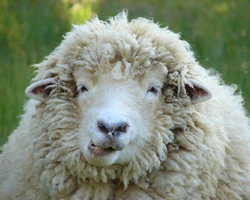 рожденные в год овцы под знаком скорпиона