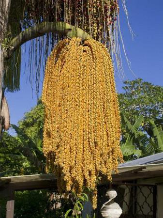 пальмовая пыльца как принимать