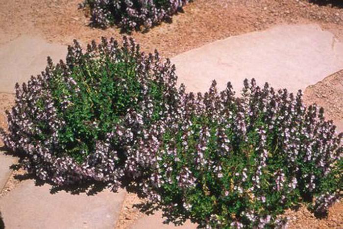 Растение дубровник: лечебные свойства, применение и рецепты
