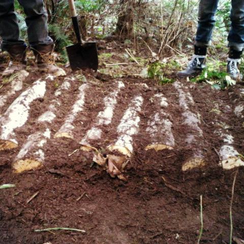Выращивание грибов на грунте 464