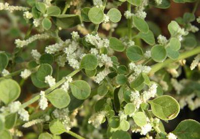 трава эрвы шерстистой лечебные свойства