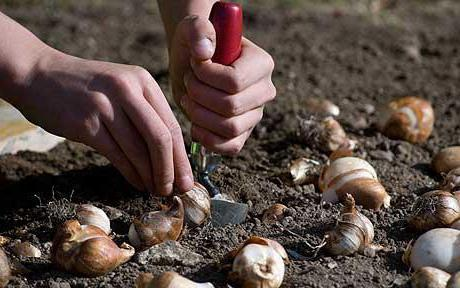 Можно ли сажать тюльпаны весной и когда