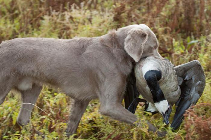 Охотничья собака веймаранер: описание породы, характер, отзывы, фото
