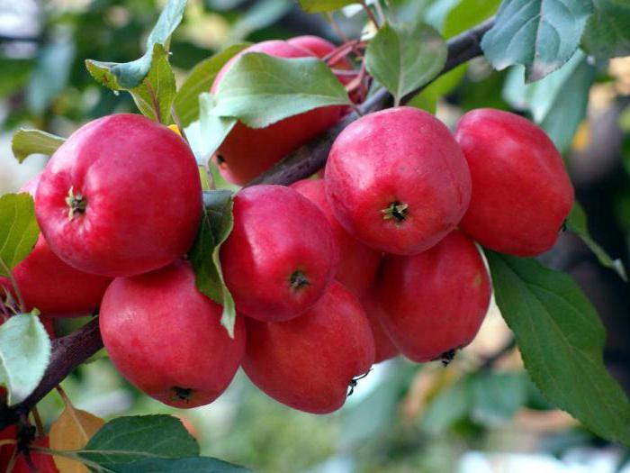 как приготовить варенье из дикой яблони китайкипри