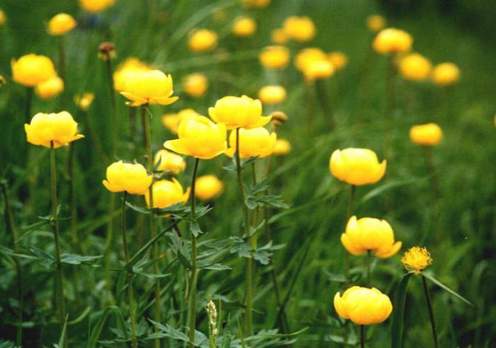 Картинки цветов италмас