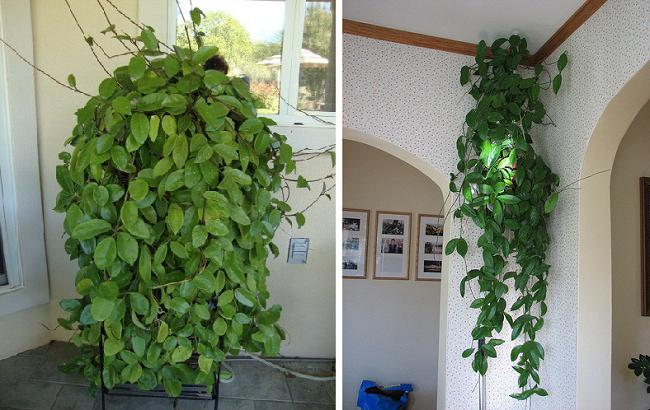 Комнатное растение лиана