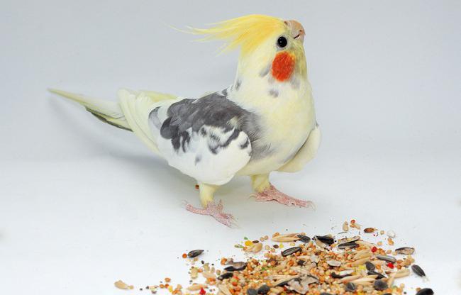 Что можно давать попугаю корелла