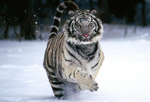 Белые амурские тигры