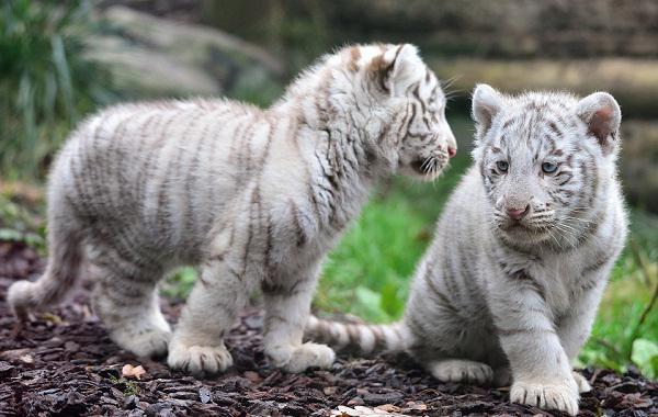 белый тигр животное