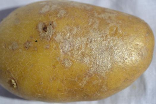 парша на картофеле методы борьбы