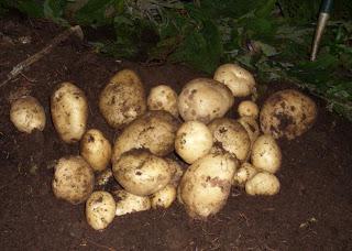 Парша на картофеле: причины появления и способы лечения