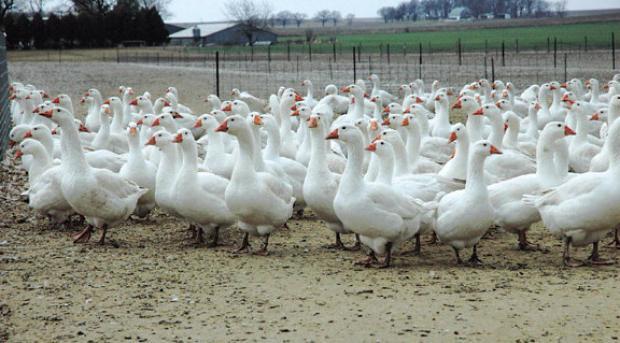 гусиная ферма
