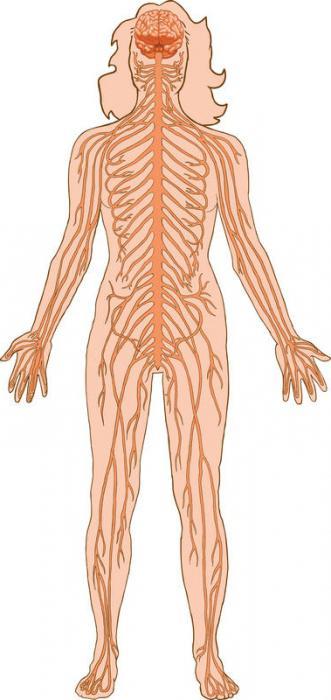 Секс нервная система